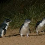 Parading Penguins 1