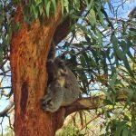 EucalyptusZzZzZzzz